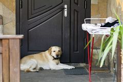 Big light yellow brown dog labrador- retriever lies in front of the closed house door looking sadly and seriously in camera, guard. Ing and waiting for owner royalty free stock image