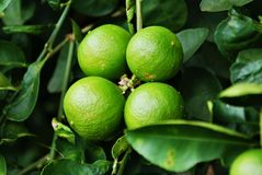 4 big lime on brunch. 4 big green lime fruit on branch in dark background stock photo