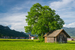Big lime tree with old wooden hut Stock Image