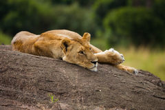 Big lion on black rock in african savannah Royalty Free Stock Photography