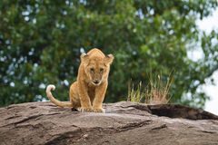 Big lion on black rock in african savannah Royalty Free Stock Photo