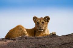 Big lion on black rock in african savannah Royalty Free Stock Photos