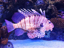 Big lion fish in an aquarium royalty free stock photos