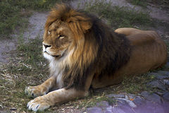 The big lion with a fluffy mane. Predator. Relax Royalty Free Stock Photography