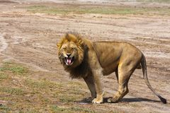 The big lion growls. Sandy savanna of Serengeti, Tanzania. Eastest Africa Stock Photography