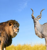 Big Lion with Kudu Stock Image