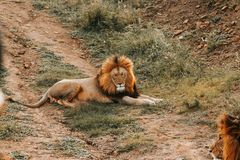 A big lion laying on the ground stock photos