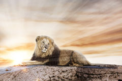 Big lion lying on rock Royalty Free Stock Photo