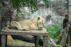 Big lion lying on the wooden ground ,Looking for something in the zoo stock photos