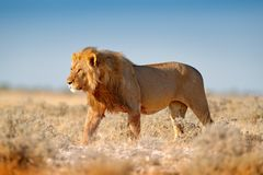 Big lion with mane in Etosha, Namibia. African lion walking in the grass, with beautiful evening light. Wildlife scene from nature. Aninal in the habitat royalty free stock photo