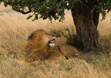 Big lion in Masai Mara  in Kenya Royalty Free Stock Photography