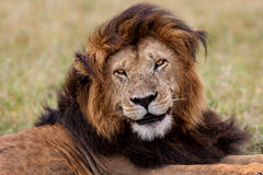 Big Lion Notch in Masai Mara. Portrait of legendary big Lion Notch in Masai Mara, Kenya Stock Image