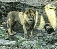 Big lion in the pit Stock Photo