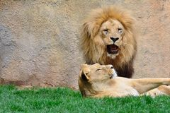 Big lion roaring while sitting near lioness Stock Photo