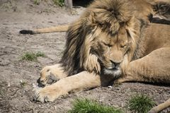 The big lion sleeps, putting his own goal on the ground. The lion sleeps in the zoo.  stock image
