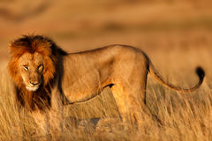 Big Lion at sunrise Stock Photo