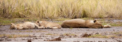 A big lion and two small lions are resting Royalty Free Stock Image
