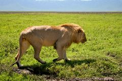 Big lion walking next to road in Serengeti Stock Photos
