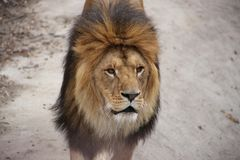 The big lion in the zoo. The lion looks mysteriously into the distance at people in the zoo royalty free stock photos