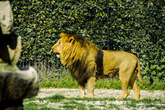 A big lion at zoo. A big lion watching people at sunlight in a zoo Royalty Free Stock Photography