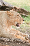 Big lioness Stock Photography