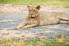 Big lioness Royalty Free Stock Image