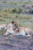 Big lioness sleeping in the savanna. Masai Mara. Kenya, Africa. Big lioness sleeping in the savanna. Masai Mara. Kenya, Eastest Africa Stock Photo