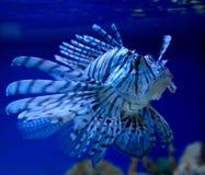 Big lionfish Stock Photography