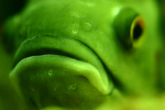 Big lips. Closeup of piranha face, selective focus on lips Royalty Free Stock Image