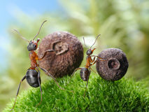 Big and little ants roll corresponding seeds Royalty Free Stock Photo