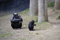 Big and Little Ape Royalty Free Stock Photography