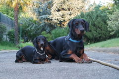 Big and little, Dobermann and Dachshund. Big Dobermann and little Dachshund posing perfectly together Stock Images