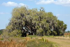 Big live oak tree draped in moss, St. Cloud, Florida. Spreading live oak, Quercus virginiana, with spanish moss, out in scrubland of Twin Oaks Conservation Area Royalty Free Stock Images