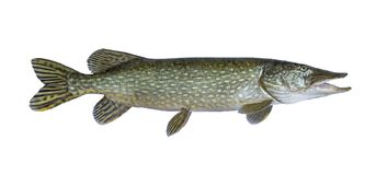 Big live pike fish isolated on white. Background royalty free stock photography