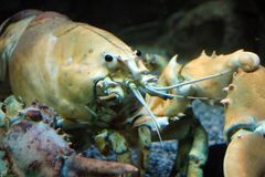 Big live yellow lobster in aquarium stock photography
