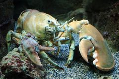 Big live yellow lobster in aquarium Royalty Free Stock Images