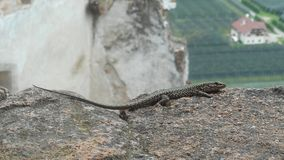 Big lizard in the mounains of italy. Big lizard animal Reptile mountains italy Stone rock green grass stalk europe stock photos