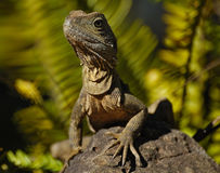 Big Lizard in Australia. A picture of a large lizard I shot in Australia Royalty Free Stock Image