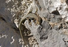 A big Lizard Stock Images