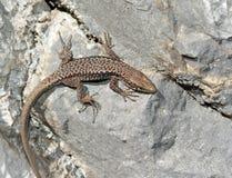A big Lizard Royalty Free Stock Photography