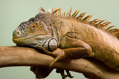 Big lizard on branch Stock Photos