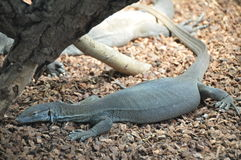 Big lizard chameleon Stock Image
