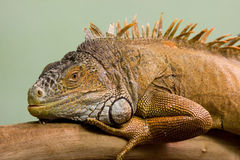 Big lizard close-up Stock Photos
