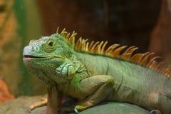 Big lizard close up stock photo