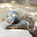 Big lizard dragon Royalty Free Stock Image