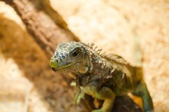 Big lizard - green iguana sitting motionless in a cage in a pet store royalty free stock photos