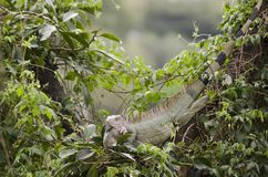 A big lizard. A big green lizard on the tree stock photography