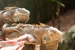 Big lizard iguana Royalty Free Stock Images