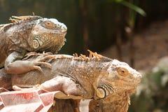 Big lizard iguana. Looking into camera Royalty Free Stock Images