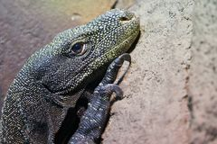 Big lizard detail. Big lizard looking portrait during day royalty free stock photos